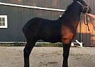 CRF Vice - Stallion in Clyde, OH
