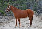 Mustang Mare for Sale in Angelus Oaks, California
