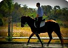 Hanoverian Mare for Sale in Grant, Florida