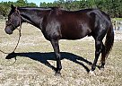 Casino - Gelding in Ocala, FL
