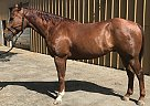 Flit Dr Honor - Gelding in Salinas, CA