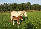 Missouri Fox Trotter Grey Mare - Mare in Hackleberg, AL