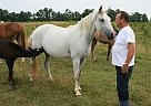 Missouri Fox Trotter Grey Riding - Mare in Hackleberg, AL