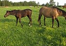 Missouri Fox Trotter Mare - Mare in Hackleberg, AL