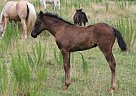 Missouri Fox Trotter Yearling - Stallion in Hackleberg, AL