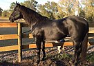 Bluessweet Valentine - Stallion in Bell, FL