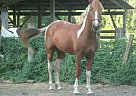 - Gelding in Lakeland, FL