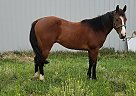 OurSpecialYankee - Gelding in Calhan, CO