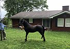 Shadow - Gelding in Corbin, KY