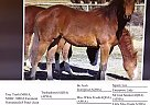 Quarter Horse Mare for Sale in Toledo, Ohio