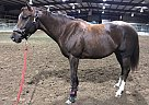 Thoroughbred Mare for Sale in Springfield , Missouri