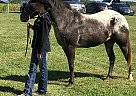 Pony of the Americas Gelding for Sale in Loami, Illinois