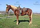 Stroker - Gelding in Jamestown, KY