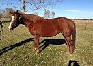 Quarter Horse Mare for Sale in Basehor, Kansas
