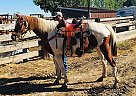 Sunny - Gelding in Coalmont, CO