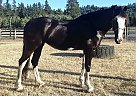 Clydesdale Mare for Sale in Raymond, Washington