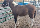 Paint Stallion for Sale in Blanchard, Idaho