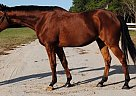 Thoroughbred Gelding for Sale in Eglin Afb, Florida