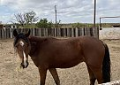 Leroy - Gelding in Cross PlainsCross plains, TX