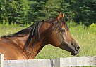 Casanova PMA - Stallion in Laurentian Hills, ON