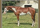 Paint Mare for Sale in Oxford, Florida