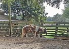 Paint Gelding for Sale in Oxford, Florida