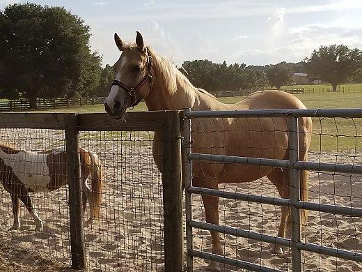 Beautiful Palomino - Quarter Horse for Sale in Oxford, FL