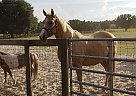 Quarter Horse Mare for Sale in Oxford, Florida
