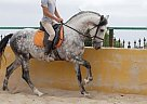 Azabache LXI - Stallion in Alicante,