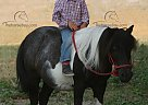 OREO - Gelding in Rushville, NE