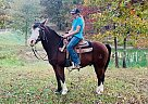Durango - Gelding in Willow Springs, MO