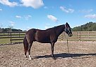 Sampson - Gelding in Hernando, FL