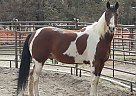 Pilgrim - Gelding in Bend, OR