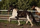 Friesian Stallion for Sale in Missoula, Montana