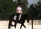 Friesian Mare for Sale in Bonita Springs, Florida