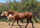 Gold Cover - Gelding in Murrieta, CA
