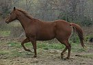 Quarter Horse Mare for Sale in Marshfield, Missouri