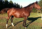 Trakehner Mare for Sale in Mill Spring, North Carolina