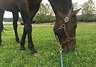 Jake - Gelding in Lexington, KY