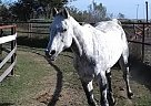 Arabian Mare for Sale in Converse, Texas