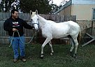 Tennessee Walking Mare for Sale in Converse, Texas