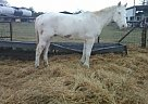 Other Gelding for Sale in Converse, Texas