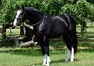 Dutch Warmblood Gelding for Sale in Kansas, Missouri