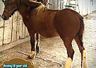 Crossbred Pony Mare for Sale in Kirksville, Missouri