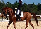 Hanoverian Gelding for Sale in Sarasota, Florida
