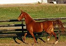 Saddlebred Mare for Sale in Buchanan, Virginia
