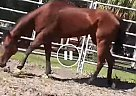 Champion - Gelding in PINELLAS PARK, FL