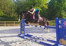 Welsh Pony Mare for Sale in Oley, Pennsylvania