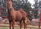 Kays Little Rose - Mare in Somerville, TN