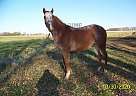 Chance - Gelding in Blooming Prairie, MN